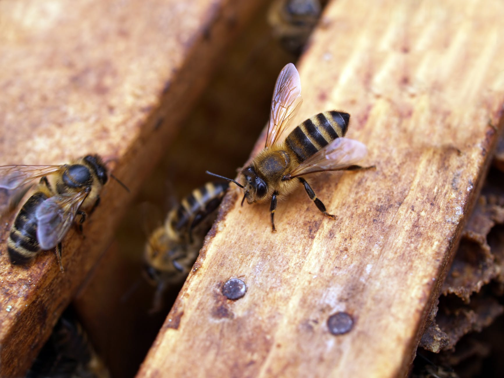 macro shot photography of black and yellow bees