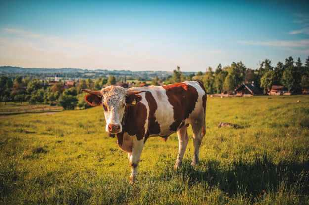 agriculture animal bull cattle